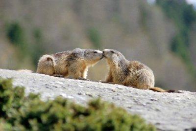 Marmots, marmottes et marmottons